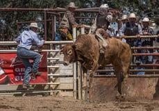 公牛骑马善良 免版税库存图片