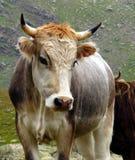 公牛魅力 免版税库存照片