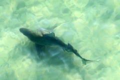 公牛鲨鱼在水中 免版税库存照片
