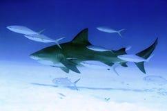 公牛鲨鱼 图库摄影