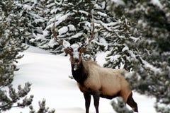 公牛麋在冬天,黄石公园 免版税库存照片