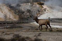 公牛麋声势浩大的温泉 免版税库存图片