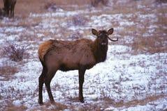 公牛麋怪异的冬天 库存照片