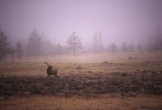 公牛麋有雾的草甸 免版税库存图片
