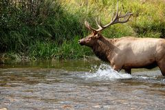 公牛麋横穿山小河 免版税库存照片