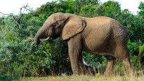 公牛-大象 库存照片