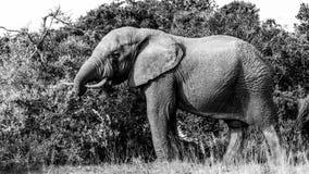 公牛-大象B&W 库存照片