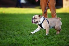 公牛头犬在绿草的一条皮带跑 免版税库存照片
