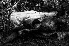 公牛头骨在森林里 免版税库存图片