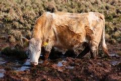 公牛 免版税图库摄影