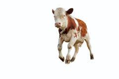 年轻公牛 免版税图库摄影