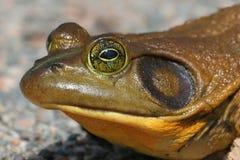 公牛catesbeiana青蛙蛙属 免版税库存照片