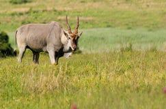 公牛eland 库存照片
