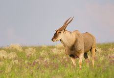 公牛eland 库存图片