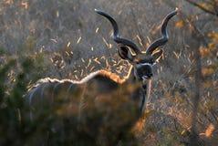 公牛kudu 图库摄影
