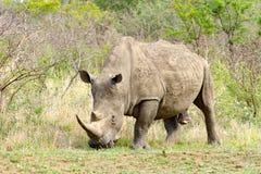 公犀牛拍摄了在Hluhluwe/Imfolozi比赛储备在南非 库存照片