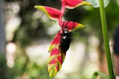 公犀牛甲虫,走在花分支的犀牛甲虫  免版税库存照片