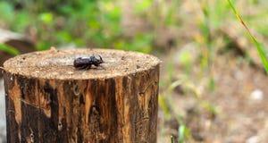 公犀牛甲虫(;Oryctes nasicornis);在圆的裁减木树桩的射击,在模糊的森林背景 免版税库存照片