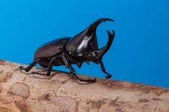 公犀牛甲虫 免版税图库摄影