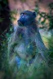 公狒狒,克留格尔国家公园在南非 库存图片
