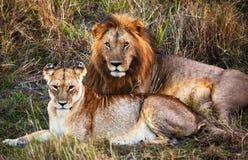 公狮子和女性狮子。 徒步旅行队在Serengeti,坦桑尼亚,非洲 库存照片