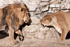 公狮子接近雌狮和雌狮短冷期和咆哮声在他—家庭丑闻 免版税库存图片