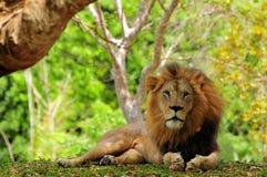 公狮子(豹属利奥)休息在动物园里的特写镜头 免版税库存照片