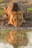 公狮子& x28; 豹属leo& x29;喝 库存图片