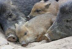 公猪休眠 图库摄影