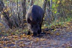 公猪通配搜寻的森林 库存照片