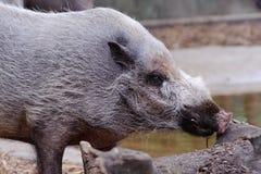 公猪食物看起来通配 免版税图库摄影