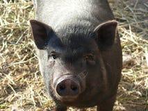 黑公猪 库存图片