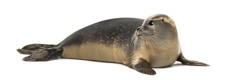 公用印章说谎,看,海豹属vitulina, 8个月 免版税库存照片