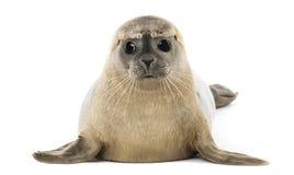 公用印章说谎,面对,海豹属vitulina, 8个月 库存图片