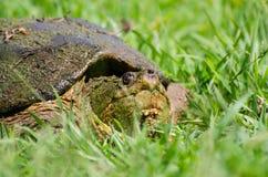 公用大鳄龟 库存图片