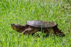 公用大鳄龟 免版税库存图片