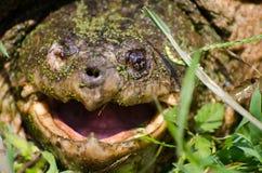 公用大鳄龟 库存照片
