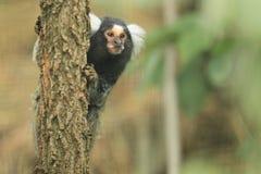 公用小猿 免版税图库摄影