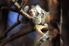 公用小猿 免版税库存照片