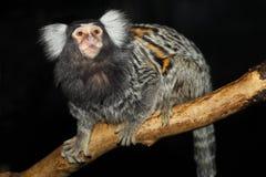 公用小猿 免版税库存图片