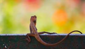 公用庭院蜥蜴 库存照片