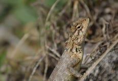 公用庭院蜥蜴 免版税库存照片