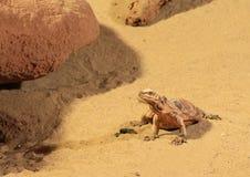 公用抓住衣领口的蜥蜴 图库摄影