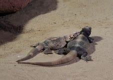 公用抓住衣领口的蜥蜴 免版税库存图片