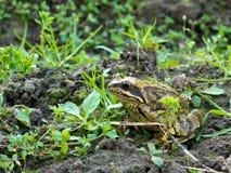 公用欧洲青蛙蛙属temporaria 免版税库存图片
