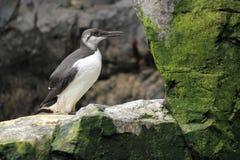 公用海雀科的鸟 库存图片