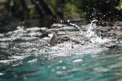 公用海雀科的鸟 库存照片
