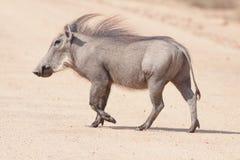 公用男性warthog 免版税库存照片