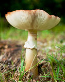 公用真菌红茹属黄色 库存图片