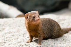 公用矮小的猫鼬 免版税库存图片